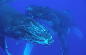 HUMPBACK WHALES HEAD NORTH TO SUNSHINE COAST'S WARMER WATERS