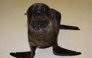SEVEN NEW ZEALAND FUR SEALS REHABILITATING AT SEA WORLD