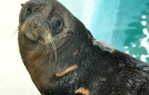 Rescued Seals Released to Southern New South Wales