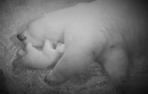 Sea World's newest Polar Bear cub needs a name
