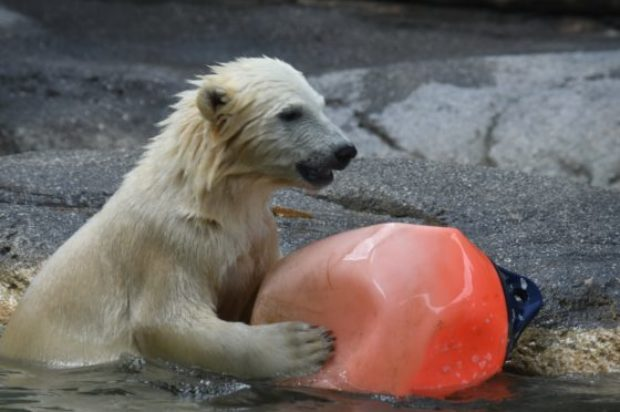 Polar Bear Cub Mishka makes a splash!