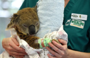 Currumbin Wildlife Hospital Appeal To Keep Doors Open And Help Line