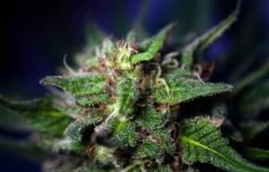 Palaszczuk Government To Push Bill  Legislation On Cannabis