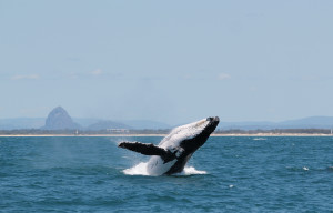 Humpback Whales In Action