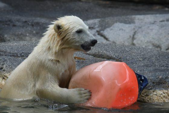 Polar Bear Cub Mishka makes a splash!