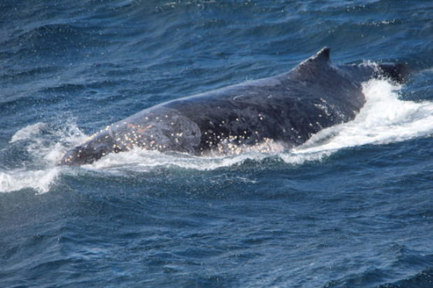 Sea World Whale Watch Spots first Whale of the 2018 Season!