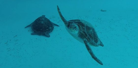 Sea World Team Releases Two Green Turtles
